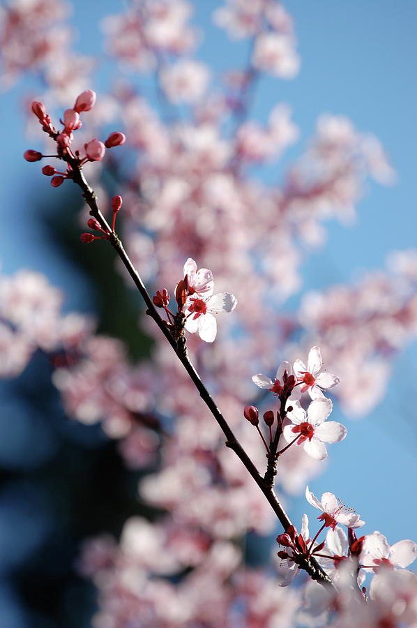 Nature Photograph - Cherry Blossom by Samantha Kimble