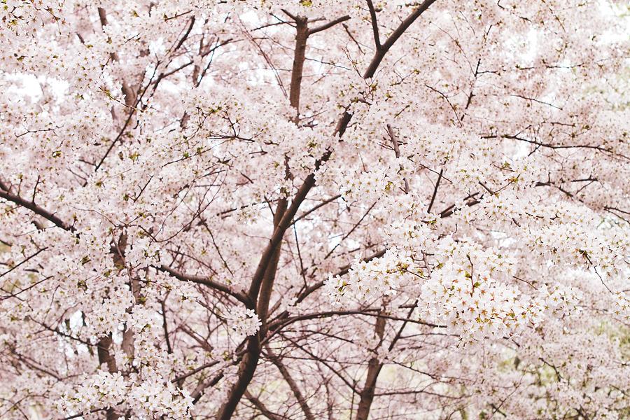 Cherry Blossom Photograph - Cherry Blossom Spring by Ariane Moshayedi