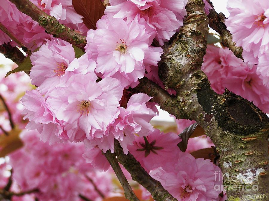 Cherry Blossom Tree Photograph - Cherry Blossom Tree by Anne McDonald