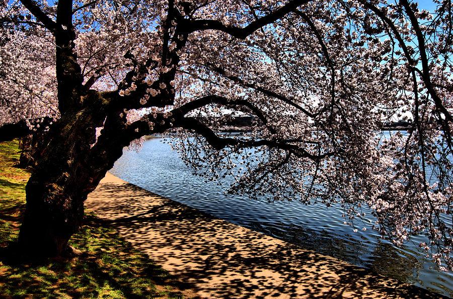Cherry Blossoms Photograph - Cherry Blossoms - Washington Dc by Wayne Higgs