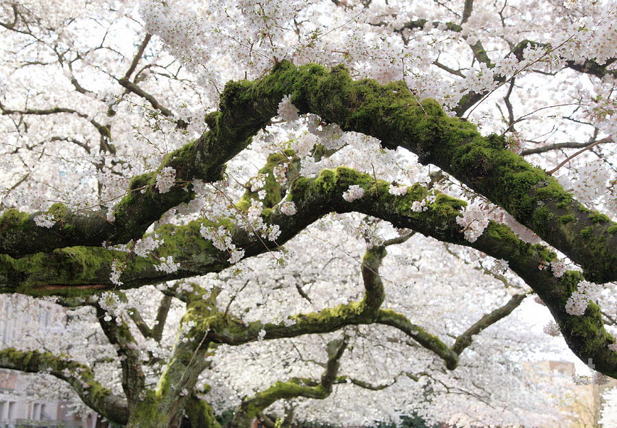 Moss Photograph - Cherry Blossoms 104 by Peter Simmons