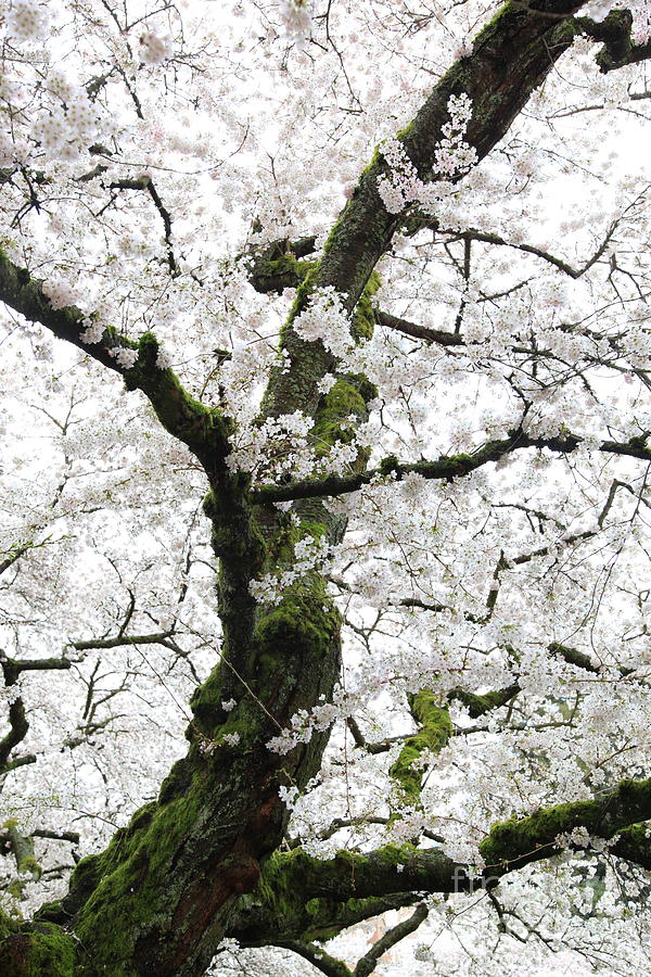 Cherry Blossoms Photograph - Cherry Blossoms 119 by Peter Simmons
