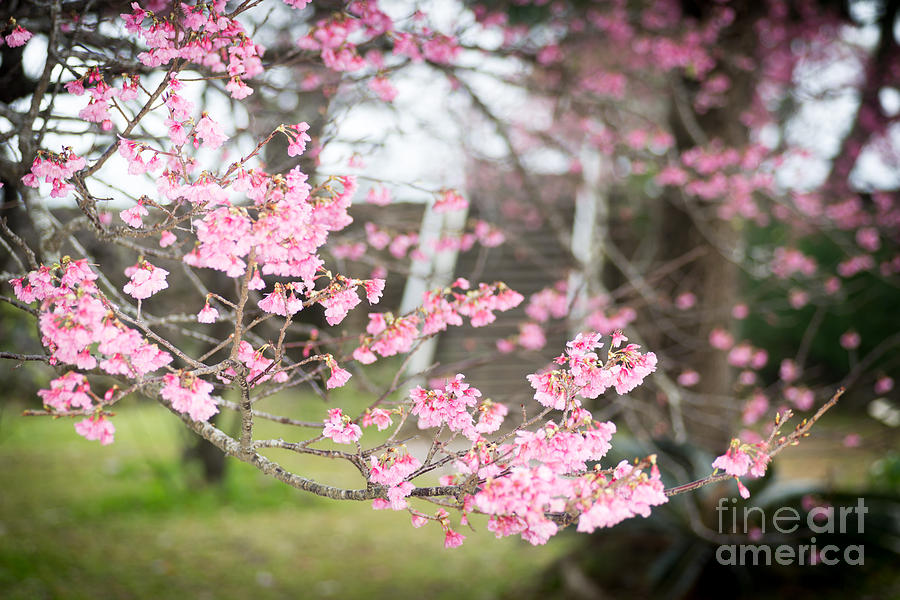 Cherry Blossoms 4 by Steven Hendricks