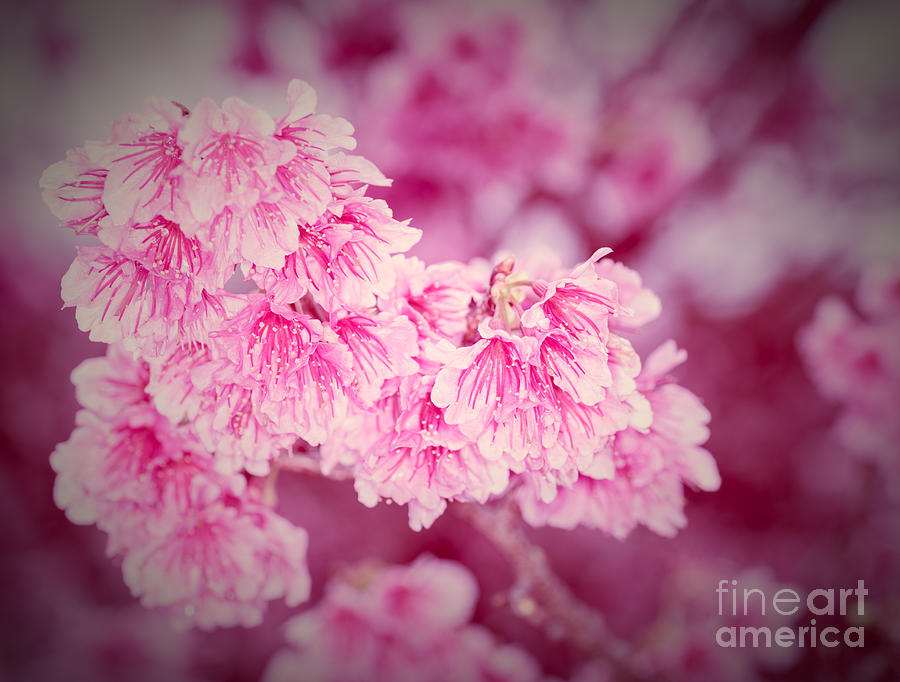 Cherry Blossoms 5 by Steven Hendricks
