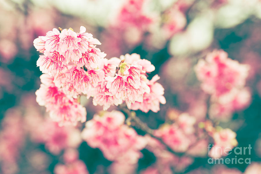 Cherry Blossoms 7 by Steven Hendricks