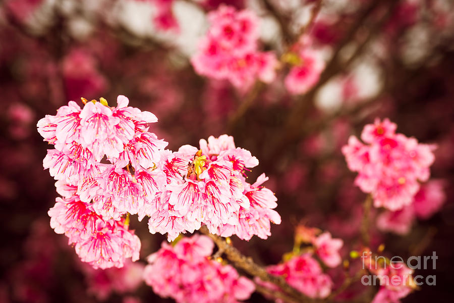 Cherry Blossoms 8 by Steven Hendricks