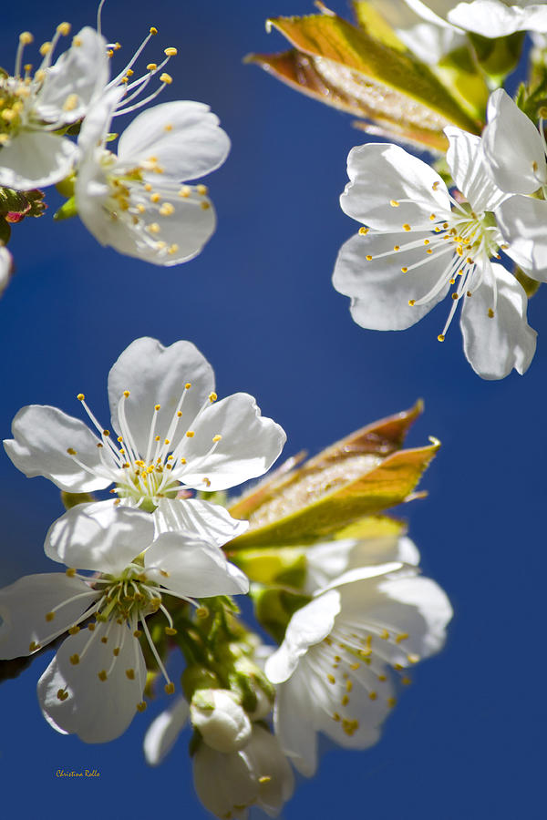 Cherry Photograph - Cherry Blossoms by Christina Rollo