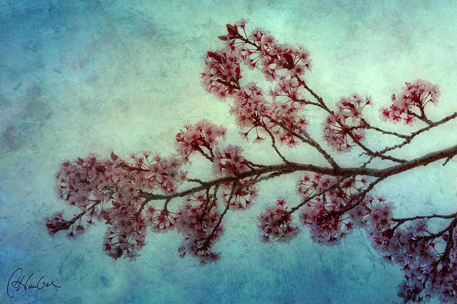 Cherry Photograph - Cherry Blossoms by Christine Hauber