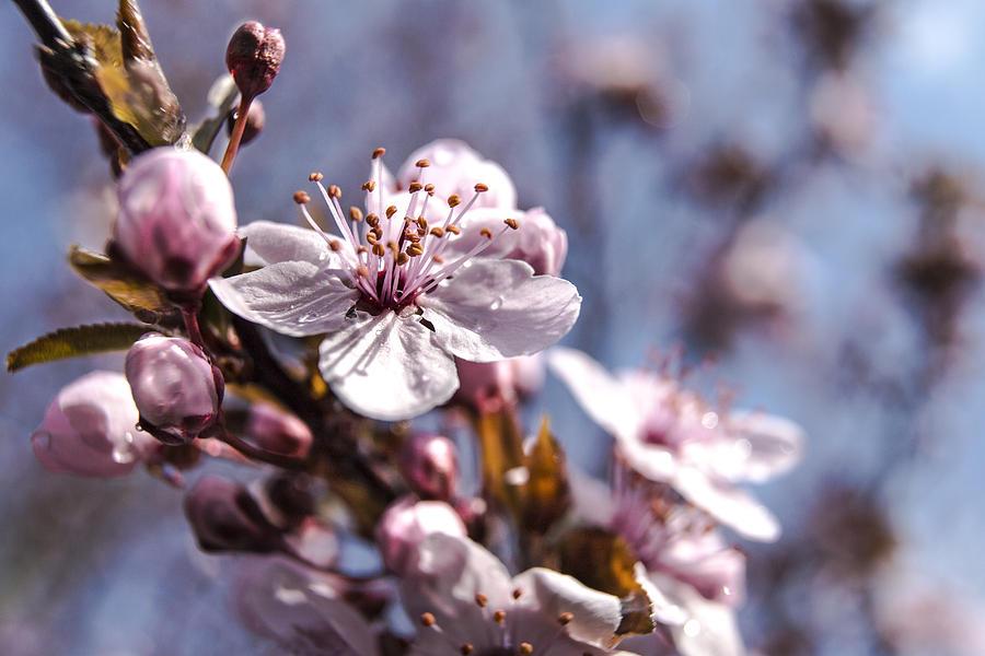 Tree Photograph - Cherry Blossoms by Denise Nehila