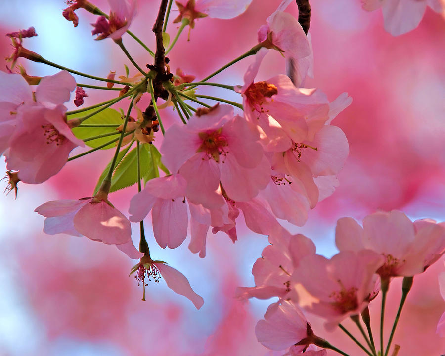 Cherry Blossoms by Don Keisling