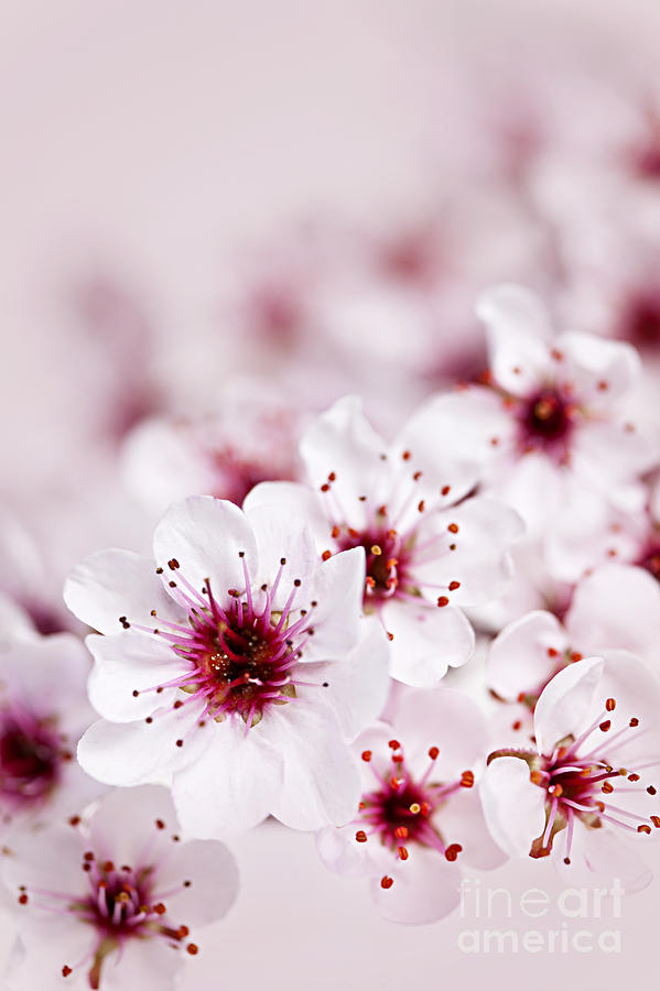 Cherry Blossom Photograph - Cherry Blossoms by Elena Elisseeva