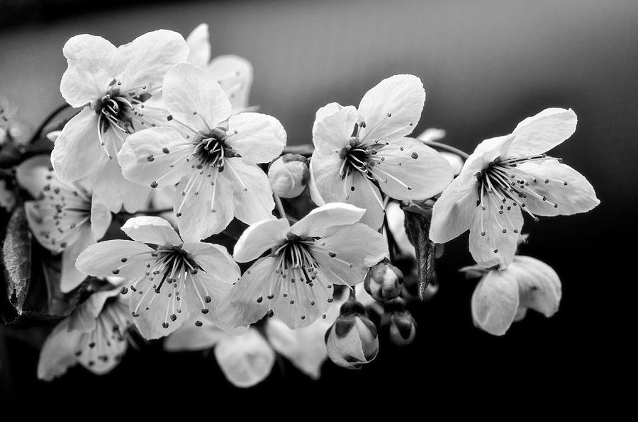 Cherry Blossoms Photograph - Cherry Blossoms II by Rod Sterling