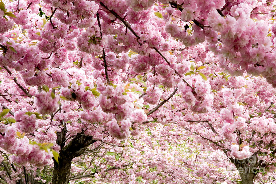 Landscape Photograph - Cherry Blossoms In Milan Italy by Julia Hiebaum