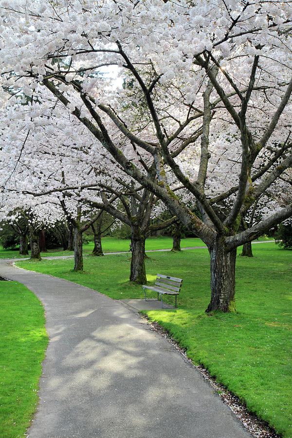 Cherry Photograph - Cherry Blossoms In Stanley Park Vancouver by Pierre Leclerc Photography