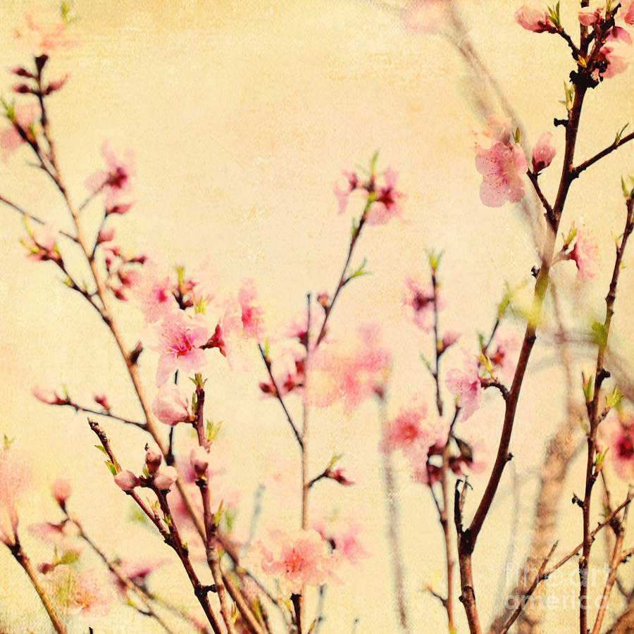 Cherry Blossoms Photograph by Kim Fearheiley