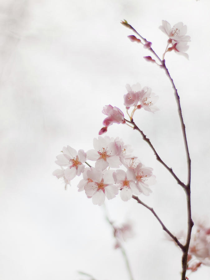 Vertical Photograph - Cherry Blossoms by Polotan