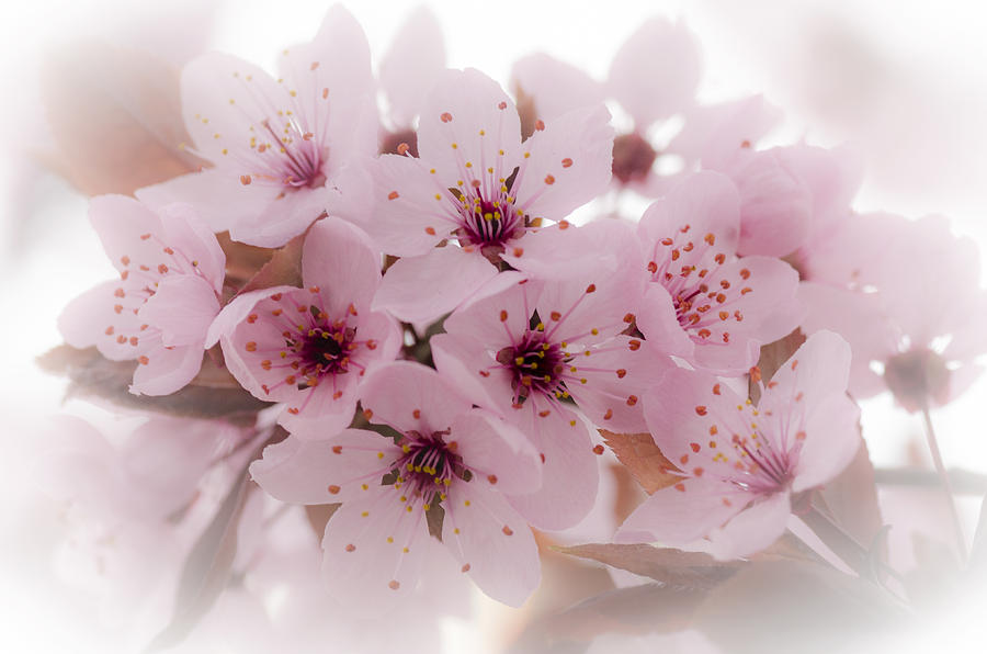 Cherry Tree Photograph - Cherry Blossoms by Rod Sterling