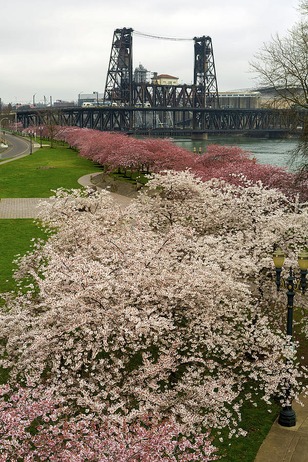 Cherry Photograph - Cherry Blossoms Trees Along Portland Waterfront by David Gn