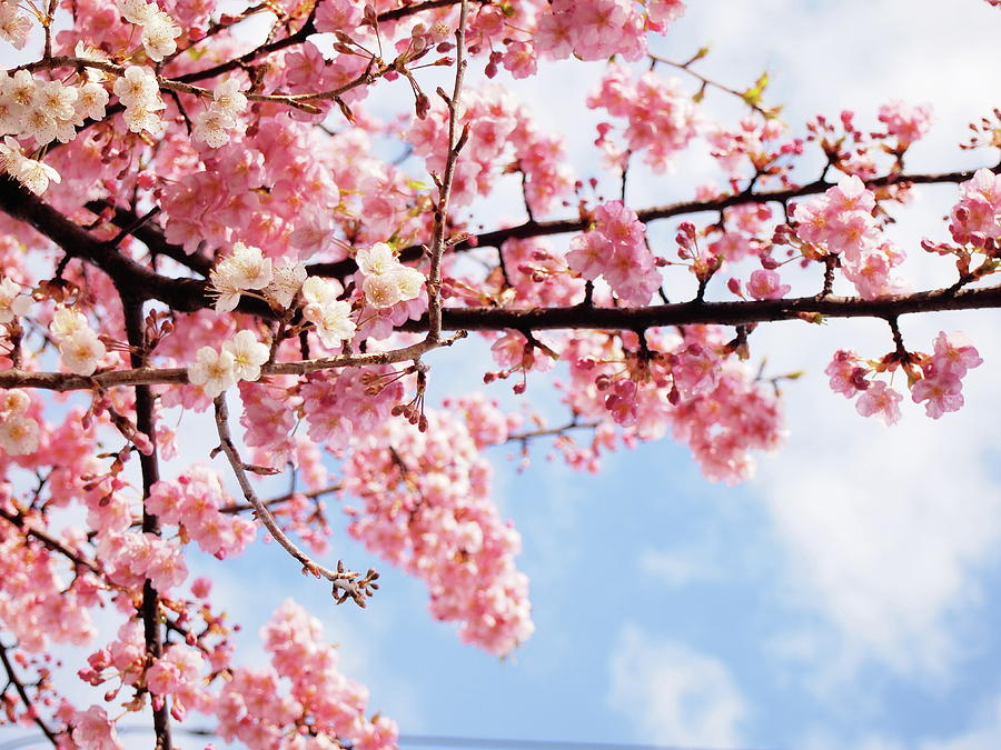 Horizontal Photograph - Cherry Blossoms Under Blue Sky by Neconote
