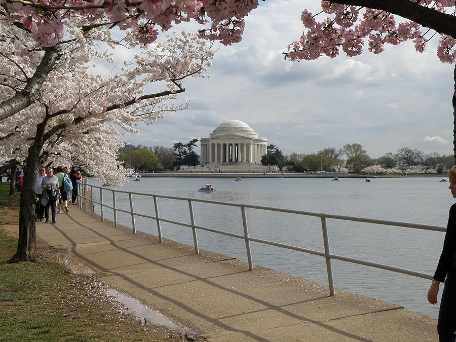 Cherry Blossom Washington Dc Photograph - Cherry Blossoms With Memorial by Krista  Simmons