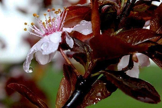 Cherry Blossom Photograph - Cherry Crown by Toni Jackson