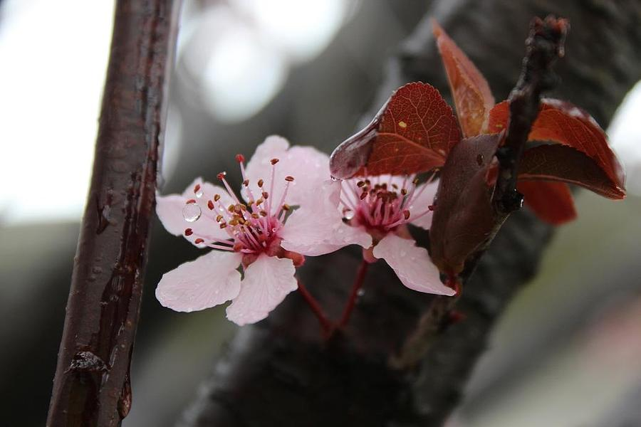 Cherry Blossom Photograph - Cherry Drop by Toni Jackson