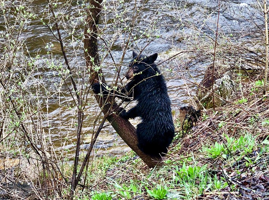 Cherry River Black Bear by Chris Berrier