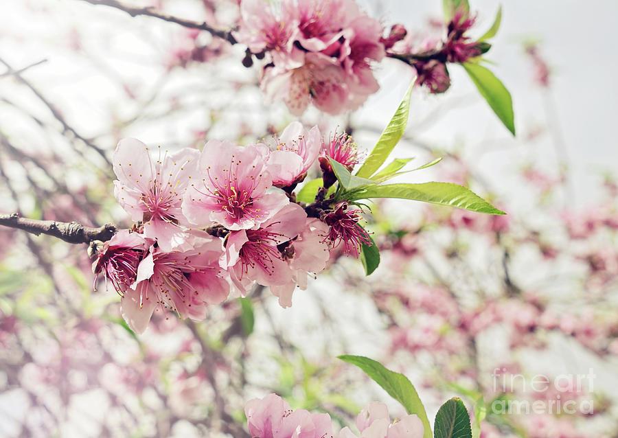 Cherry Springtime Photograph