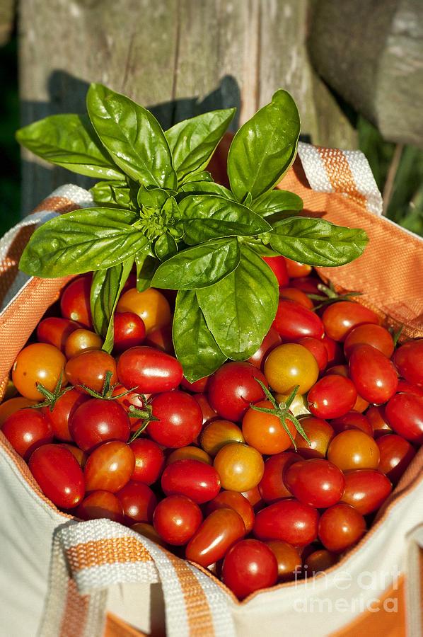 Harvested Photograph - Cherry Tomato Harvest by John Greim