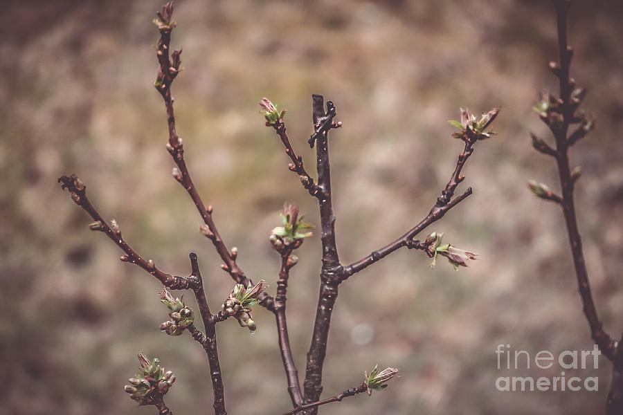Spring Photograph - Cherry Tree by Claudia M Photography