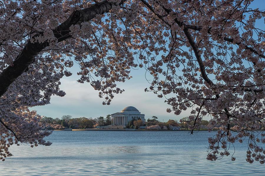 Cherry Tree Framing the Jefferson Memorial by Dennis Kowalewski
