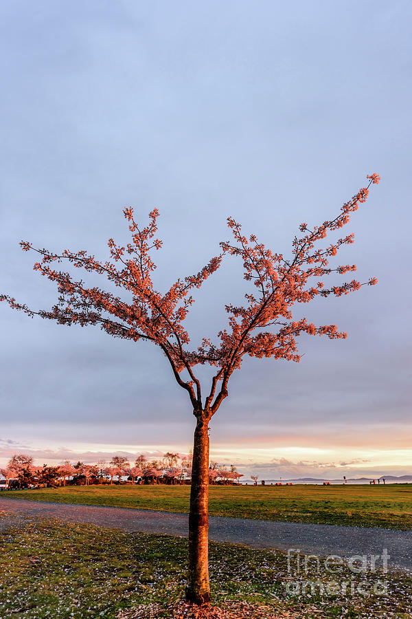 Tree Photograph - Cherry Tree Standing Alone In A Park, Lit By The Light  by Viktor Birkus