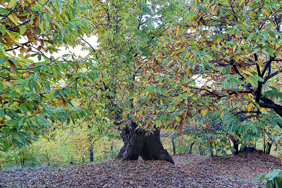 Autumn Photograph - Chestnut Tree In Autumn by Goyo Ambrosio