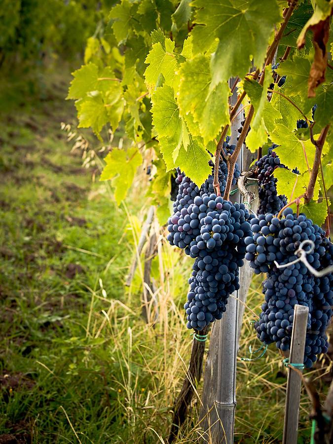 Grapes Photograph - Chianti Grapes by Jim DeLillo