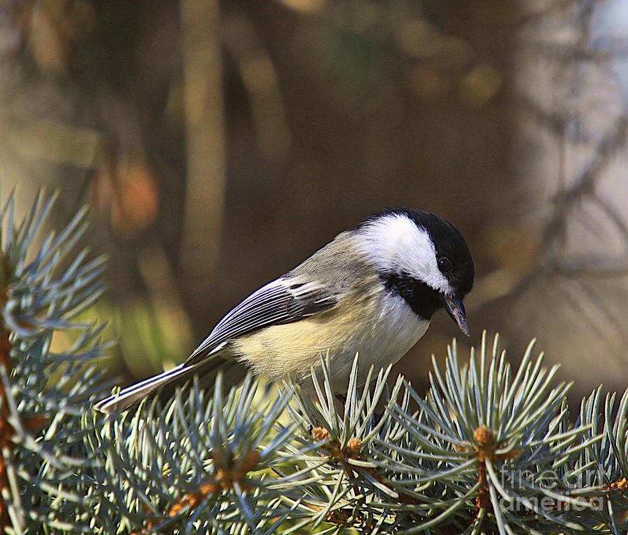 Bird Print Photograph - Chickadee-10 by Robert Pearson