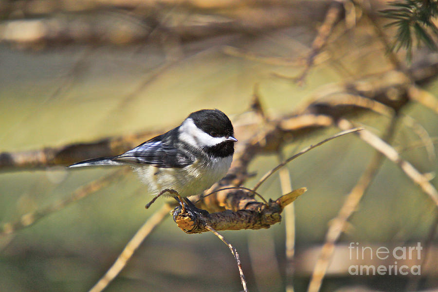 Cards Greeting Cards Photograph - Chickadee-11 by Robert Pearson