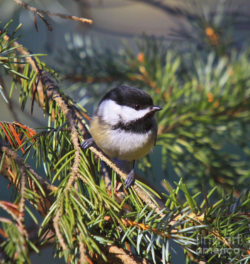 Cards Greeting Cards Photograph - Chickadee-12 by Robert Pearson