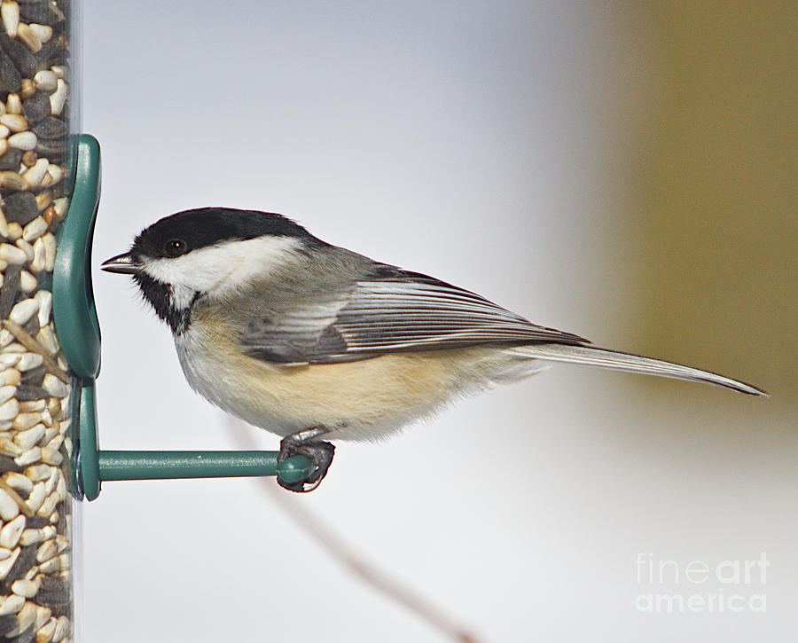 Cards Greeting Cards Photograph - Chickadee-4 by Robert Pearson