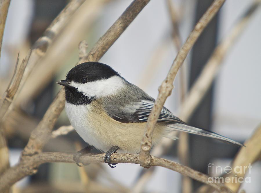 Winter Photograph - Chickadee-5 by Robert Pearson