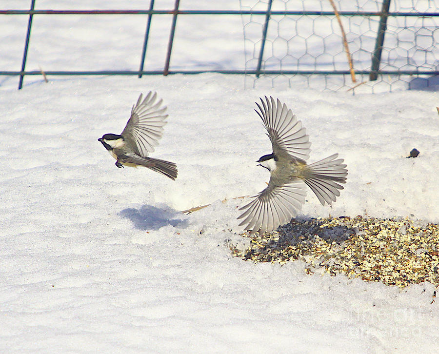 Cards Greeting Cards Photograph - Chickadee-6 by Robert Pearson