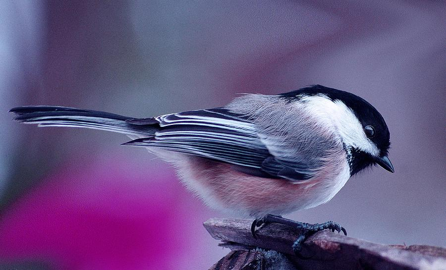 Chickadee by Arthur Miller