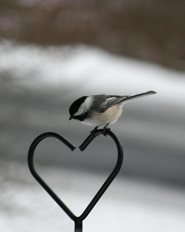 Bird Photograph - Chickadee On Heart by George Jones