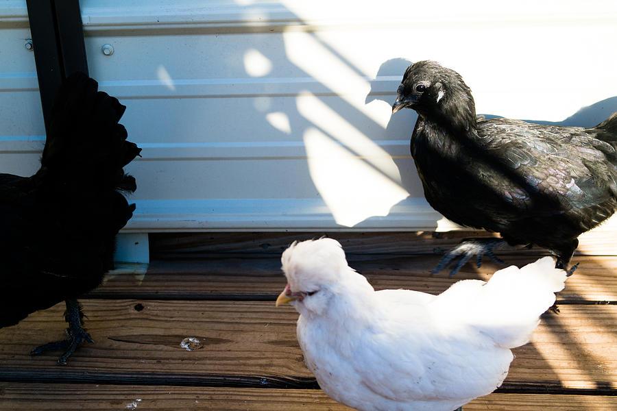 Chicken 1 Photograph by Wattie Wildcat