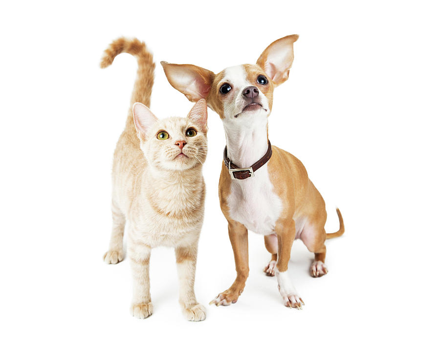Animal Photograph - Chihuahua Dog And Young Orange Tabby Cat by Susan Schmitz
