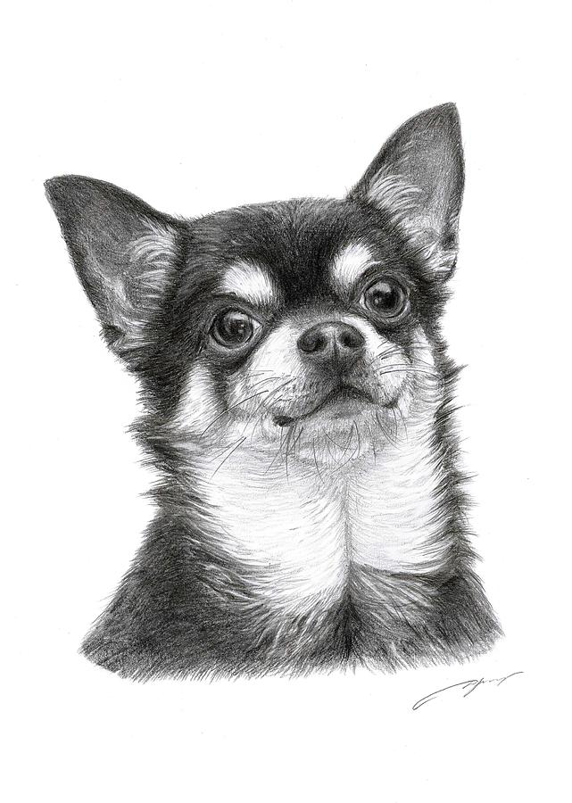 It is an image of Impeccable Drawing Of Chihuahua