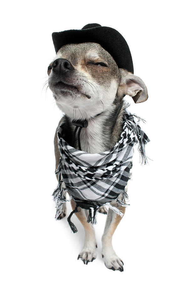 Vertical Photograph - Chihuahua Wearing A Scarf And A Cowboy Hat by Life On White