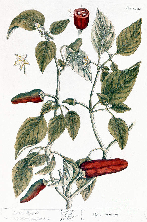 1730s Photograph - Chili Pepper, 1735 by Granger