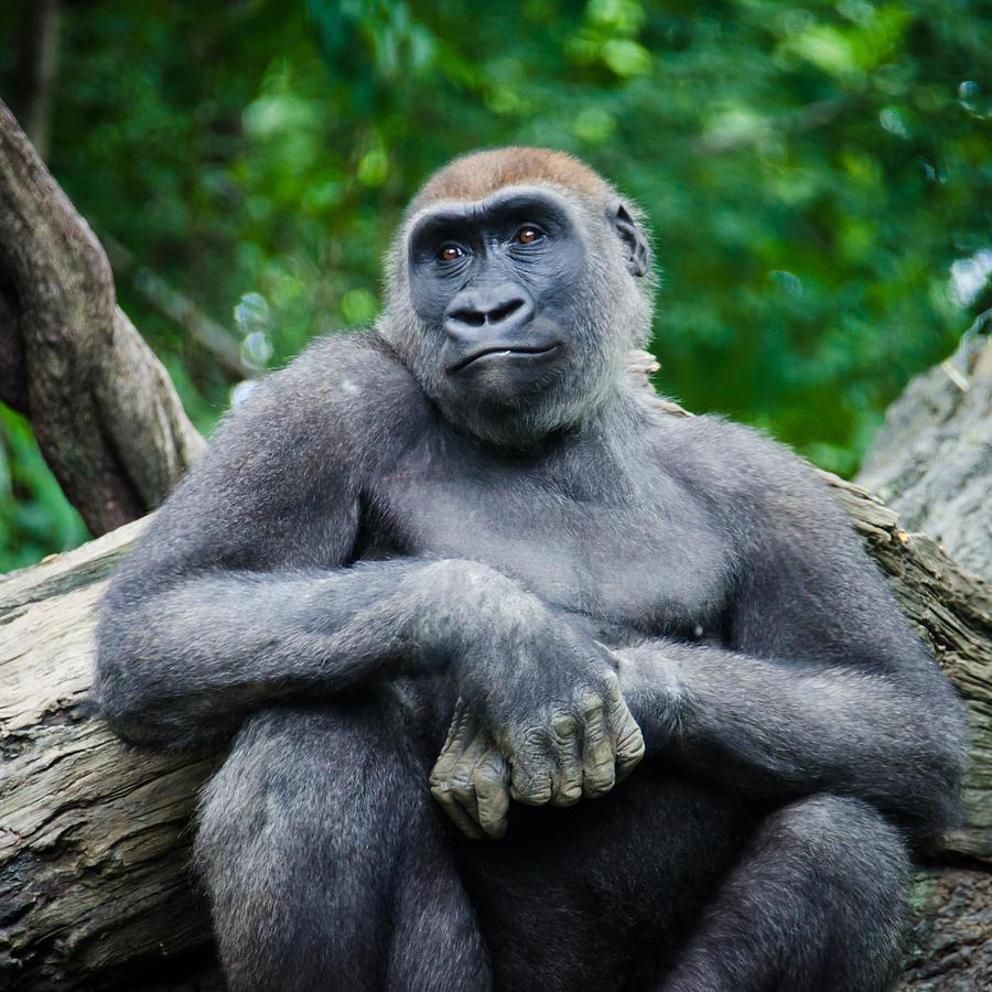 Chill Gorilla Photograph