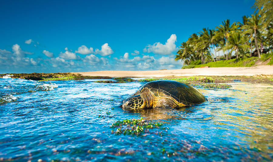 Chilling Honu by Leonardo Dale