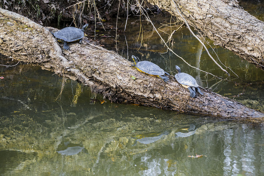Turtles Photograph - Chilling Turtles  by William Hall
